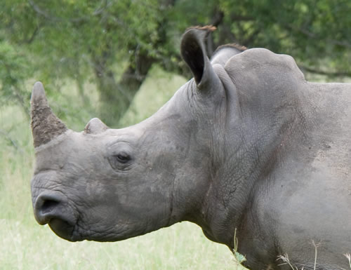 White_Rhino_profile_close
